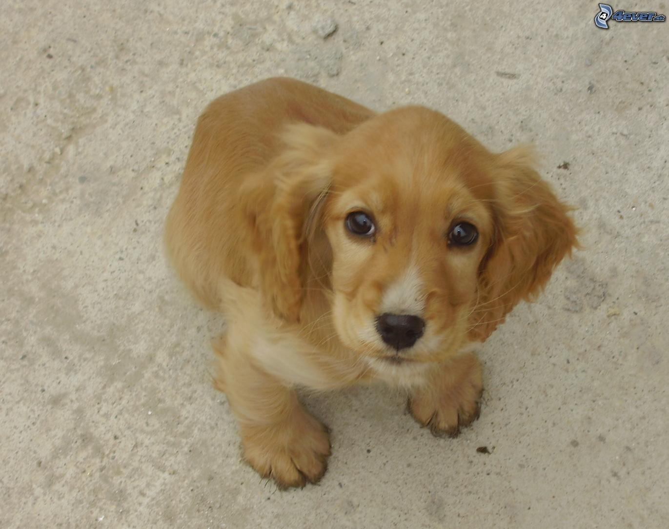 obrazky.4ever.sk] pes, psicek, havinko 2680314.jpg